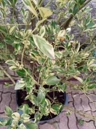 Limão imperial com mais de 10 anos