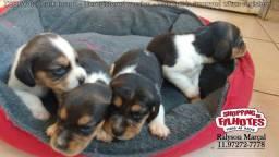 Beagle 13 polegadas, com todas garantias contratuais e pedigree