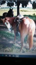 Cavalo quarto de milha p.c sem registro