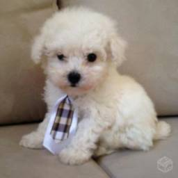 Procuro Poodle Micro Toy Fêmea