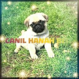 Lindos bebês de Pug c pedigree CANIL Hanah Beit