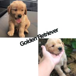 Golden retriever com pedigree e microchip
