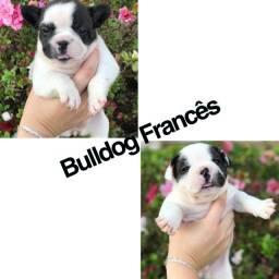 Bulldog frances com pedigree e microchip