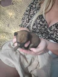 Último filhote macho pinscher n1