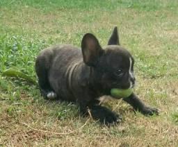 Filhote bulldog francês mini