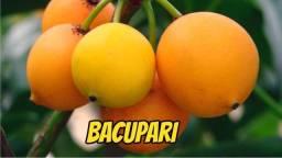 Mudas Bacupari Promoção em Guarapari ES só 15 reais e cada 5 ganha 1