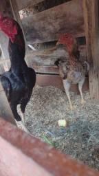 Casal de índio galinha botando ovos + viveiro