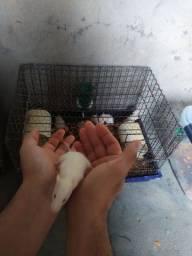 Rato Twister albino