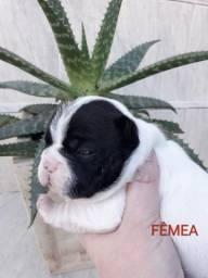 Vendo femeas de bulldog francês