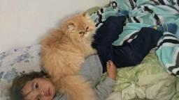 Procura uma gata persa pra cruzamento
