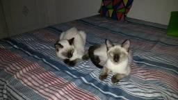 Doação de gatos siameses