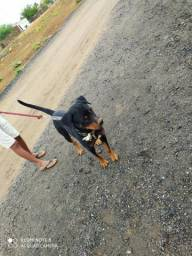 Procuro cachorra pra cruzar rottweiler