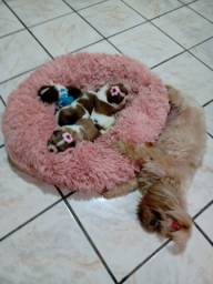 Cachorros Shih Tzu