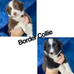 Border collie com pedigree e microchip