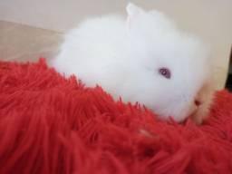 Macho albino mini lion