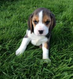 Inteligêntes!! Beagle 13 polegadas com Garantia
