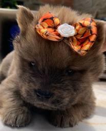 Mega promoção de cachorro chowchow puros guarapari só hoje