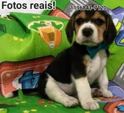 Só aqui utilizamos fotos Reais dos Filhotes de Beagle machos e fêmeas, não caia em golpes.