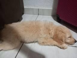 Cachorro poodle 500