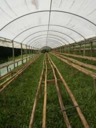 Estufa para cultivo de morangos