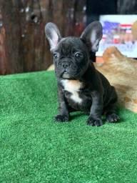 Mini Bulldog Frances Fêmea Black choco