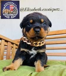 Rottweiler Fêmea  Cabeça de Touro com pedigree