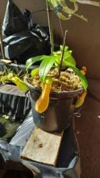 Muda de Nepenthes graciliflora - Planta Carnívora