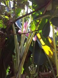 Sementes de bananeira ornamental musa ornata