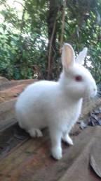 Mini coelho anão Holandês padrão pet.