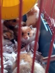Lindos bbs hamster(1mês)  25,00