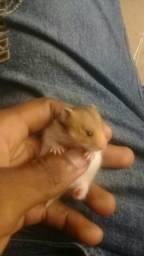 Hamster Sírio Angorá ( pelos longos e macios)