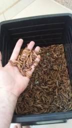 Tenébrios Gigantes ( Larvas gigantes) Promoção!!!