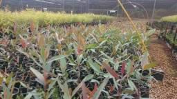 Vendo mudas de eucalipto das variedades citriodora,camaldulensis
