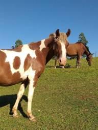 Cavalo Marchador Domado