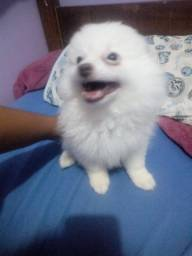Lulu da Pomerânia albino