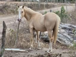 Cavalo meio sangue registrado