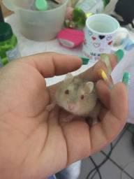 Vendo hamster Ana russo