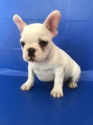Lindo Bulldog francês brancos