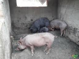 Doa-se porcos