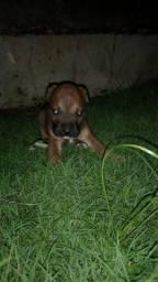 Filho de pitbull ( 1 mês e meio) todos machos