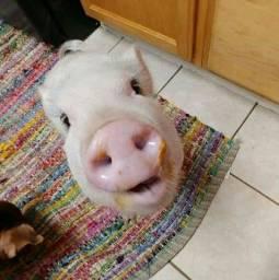 estou doando mini pig