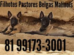 Filhotes Pastores Belgas Malinois com Pedigree