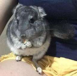 Chinchila bebê