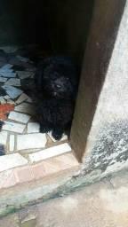 Poodle 01( Macho )