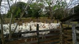 Vacas e Novilhas