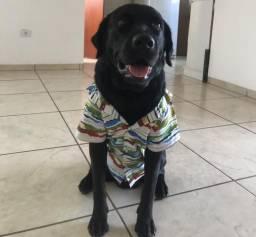 Labrador preto procura namorada