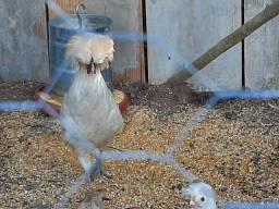 Vendo filhotes de galinha polonesa r