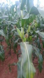 Vendo milho verde