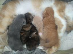 Filhotes de gato  persa puro (reserve o seu)