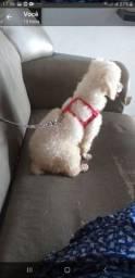 Poodle toy Femia